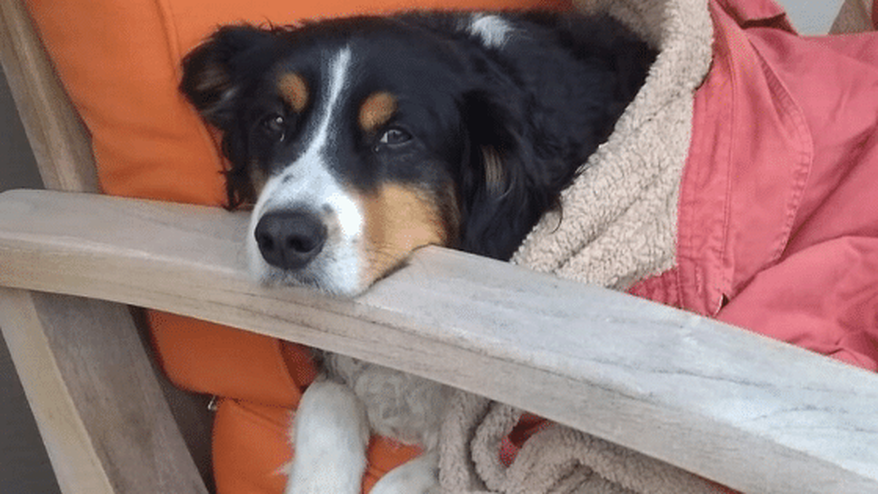 Bodie the good dog curled up in a patio chair